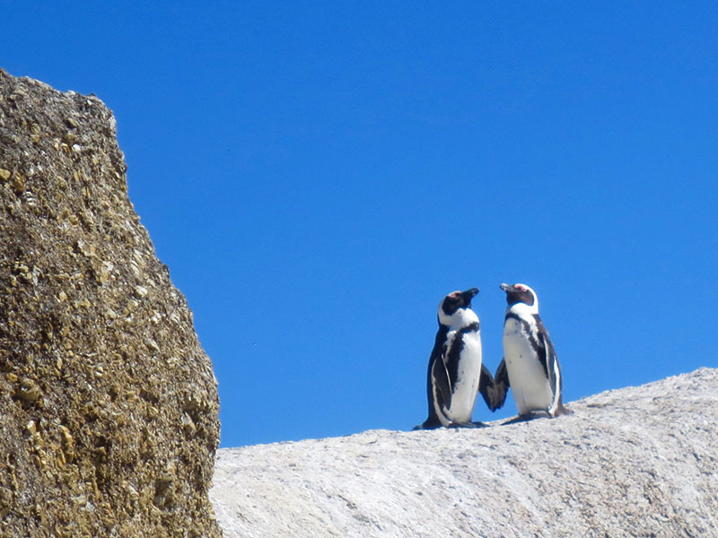 Two penguins in a very healthy relationship holding hands on a rock.