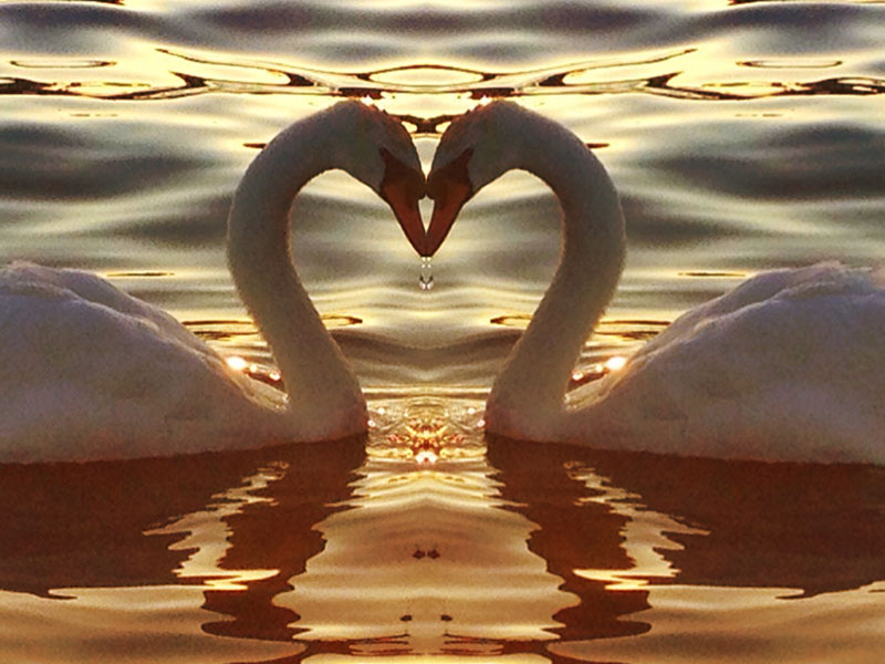 Swans looking at each other and making a heart.