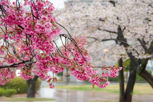 atami-cherry-blossoms-1